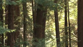 Grote bomen in bos stock video
