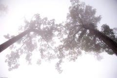Grote bomen in de mist Stock Afbeeldingen