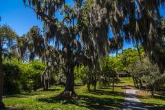 Grote bomen met mos het hangen Royalty-vrije Stock Foto