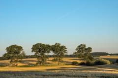 Grote bomen op een tarwegebied Royalty-vrije Stock Foto