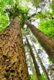 Grote bomen van de de zomer de lange pijnboom Royalty-vrije Stock Fotografie