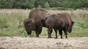 Grote bonasus van de bizonbizon in de reserve stock footage