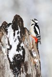 Grote Bonte Specht, Great Spotted Woodpecker, Dendrocopos major royalty free stock images