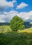 Grote boom Stock Fotografie