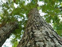 Grote boom Stock Foto
