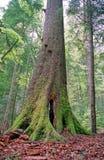 Grote boom in bos Royalty-vrije Stock Foto