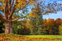 Grote boom die de bladeren verliezen Royalty-vrije Stock Afbeelding