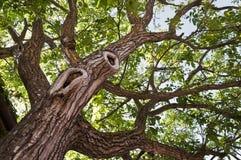 Grote boom die van bodem wordt gezien Royalty-vrije Stock Fotografie