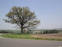 Grote boom die zich alleen bevinden Royalty-vrije Stock Foto