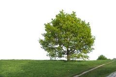 Grote boom in een park Royalty-vrije Stock Afbeelding