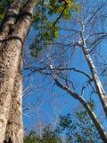 Grote boom en dode bomen, en zonder bladeren op de achtergrond, heldere blauwe hemel zonder wolken voor natuurlijke achtergrond stock fotografie