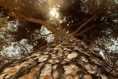 Grote boom en zonneschijn Royalty-vrije Stock Afbeeldingen