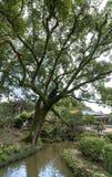 Grote boom in het heiligdom van Dazaifu Tenmangu Stock Foto