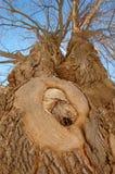 Grote boom met een knoop royalty-vrije stock fotografie