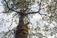 Grote boom met groene mos Stock Foto