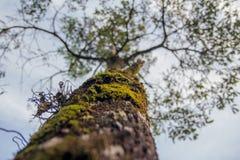Grote boom met groene mos Stock Foto's