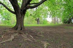Grote boom met wortels die uit over naakte grond bereiken Stock Afbeeldingen