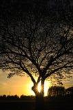 Grote boom met zonsondergang Royalty-vrije Stock Afbeeldingen