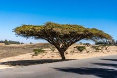 Grote boom op de weg van Gondar aan de Simien-bergen, Ethiopië, Afrika stock afbeeldingen