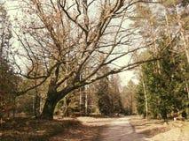 Grote boom op de weg - zonversie Stock Afbeelding