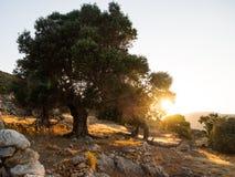Grote boom op een rand bij zonsondergang Royalty-vrije Stock Foto's