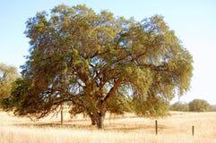 Grote boom op gebied Stock Afbeelding