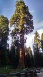 Grote boom van het sequoia de Nationale Park Royalty-vrije Stock Afbeelding