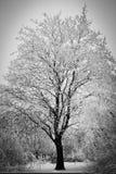 Grote boom in vorst Stock Afbeeldingen