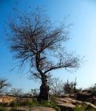 Grote boom zonder bladeren op het na de herfstseizoen stock fotografie