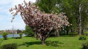 Grote boombloesem op warme zonnige dag Stock Foto's