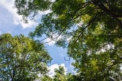 Grote boommening, gezicht naar omhoog Blauwe Hemelen Stock Foto