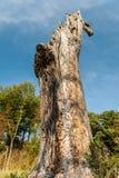 Grote boomstam van een dode eiken boom stock afbeelding
