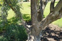 Grote boomstam van een oude olijfboom in het de lentepark Stock Foto