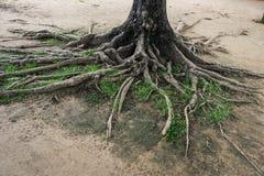 Grote boomwortel Stock Afbeeldingen