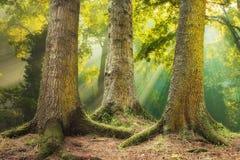 grote boomwortels en zonnestraal in een groen bos royalty-vrije stock fotografie