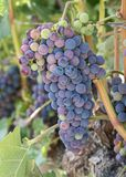 Grote bos van purpere wijndruiven op de wijnstok stock afbeelding