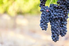 Grote bossen van perfecte zwarte druiven excentrisch met vage warme wijngaardachtergrond Stock Afbeeldingen