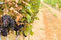 Grote bossen van wijndruiven Stock Afbeelding