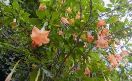 Grote Brugmansia riep Engelentrompetten of de Doornappelbloemen verzakken van takje Stock Afbeeldingen