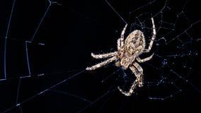 Grote brugspin op spinneweb in nachtmaanlicht Larinioidessclopetarius, Araneidae stock foto's