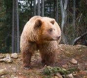 Grote bruin draagt in een rand van naaldbos royalty-vrije stock foto's