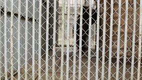 Grote bruin draagt gangen in een kooi bij de dierentuin, de achtergrond, gevaar en een dier in een kooi, exemplaarruimte stock videobeelden