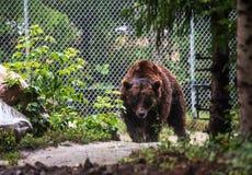 Grote bruin draagt gekooid in een dierentuin royalty-vrije stock afbeeldingen