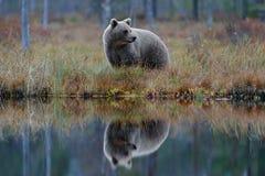 Grote bruin draagt lopend rond meer met spiegelbeeld Gevaarlijk dier in de bos het Wildscène van Europa Bruine vogel in Th stock afbeeldingen
