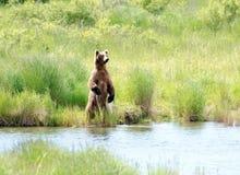 Grote bruin Van Alaska draagt bevindend op zijn achterste benen Stock Foto