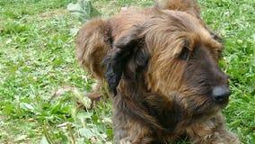 Grote bruine hond die op het gras liggen stock videobeelden