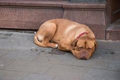 Grote Bruine Hond met het Droevige Gezicht leggen Stock Foto's