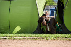 Grote bruine honden op leiband Stock Foto