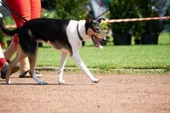Grote bruine honden op leiband Royalty-vrije Stock Foto's