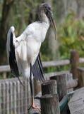 Grote Bruine Houten Ooievaar Florida Stock Foto
